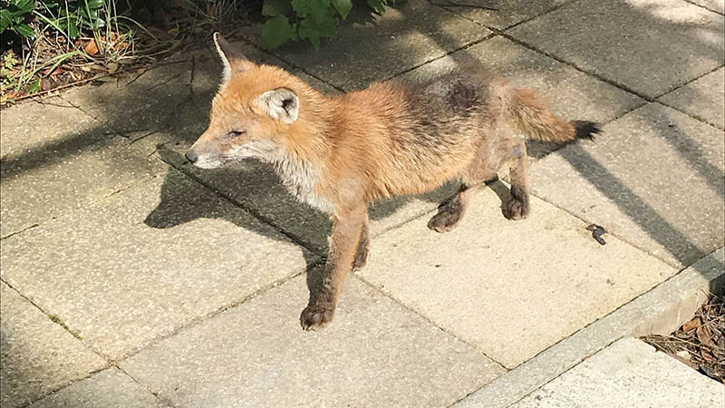 fox in NWAS HQ